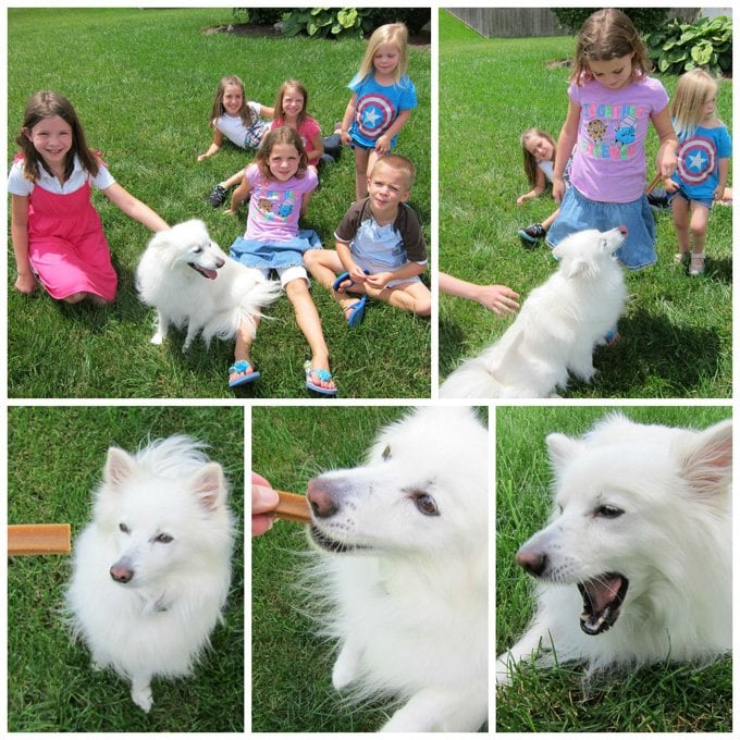 American Eskimo with Kids in Grass