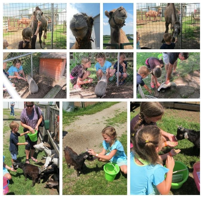 Having fun at Idle-Hour Ranch petting and feeding camels, goats, and more.