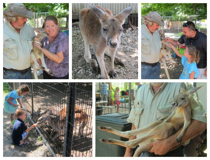 Petting a baby kangaroo at the Idle-Hour Ranch in Troy, Ohio